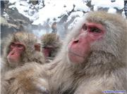 Snow Monkeys, uploaded by 1worldimages