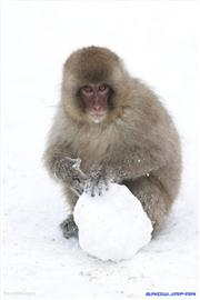 Snow Monkey with snowball, uploaded by 1worldimages
