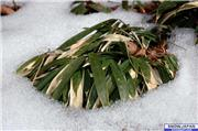 Zasa bamboo in winter dress covered by snow., uploaded by Mike-Rix