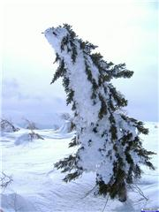 April 7, 2007 - Frosted tree on Asari Dake, uploaded by MiloSinawava  [Sapporo Kokusai, Sapporo City, Hokkaido]