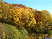Magnificent colour in the forest near Hirafu village., uploaded by NisekoNow  [Niseko Mountain Resort Grand Hirafu, Kutchan Town, Hokkaido]