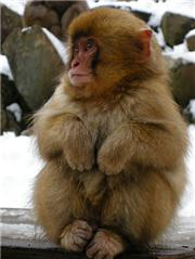 Japan, Nagano-Ken, Yamanouchi-machi, Jigokudani Yaen Koen, Wild Monkey Park, Photo: Meg Yamagute, uploaded by ShigaKogen