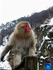 Japan, Nagano-Ken, Yamanouchi-machi, Jigokudani Yaen Koen, Wild Monkey Park. Dec 2008. Photo: Meg Yamagute, uploaded by ShigaKogen
