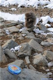 Snow monkeys at Jigokudani, early February 2011, uploaded by muikabochi